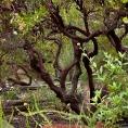 Dark branches of open pruned evergreen shrub, Vine Hill Manzanita Arctostaphylos densiflora in Kyte California native plant garden. Saxon's photo