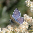 holodiscus_discolor_butterfly