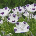 nemophila_maculata_close