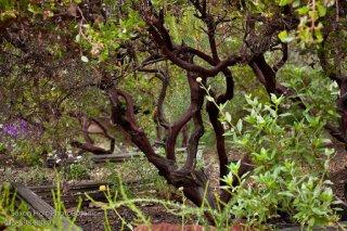 Dark branches of open pruned evergreen shrub, Vine Hill Manzanita Arctostaphylos densiflora in Kyte California native plant garden