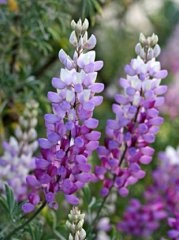 lupinus_albifrons_cl