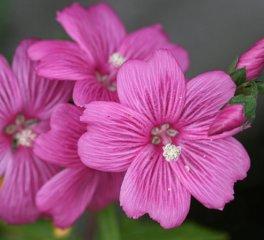 sidalcea_calycosa_rhizomata-1