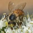 ledgerwood-bees-12