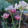 allium-and-poppy
