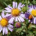 ladybug-on-aster-chilensis