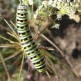 Anise swallowtail caterpillar on Perideridia kelloggii